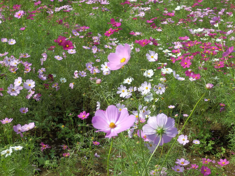 国営昭和記念公園花の丘