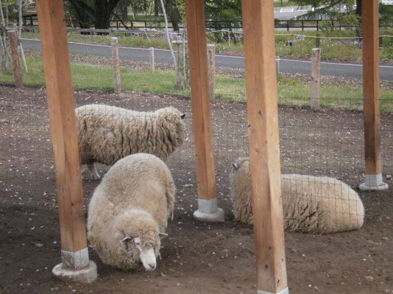 群馬県旅行観光伊香保グリーン牧場羊