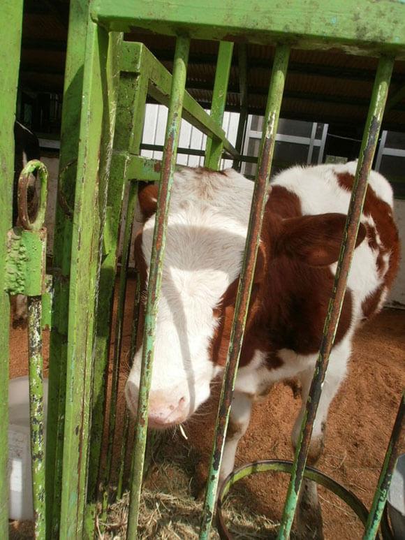 群馬県旅行観光伊香保グリーン牧場牛