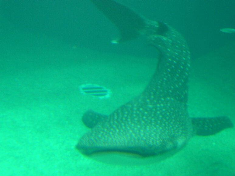 大阪府旅行観光海遊館太平洋ジンベエザメ