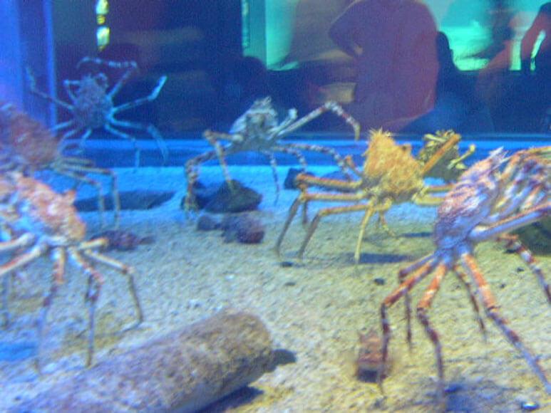 大阪府旅行観光海遊館日本海溝タカアシガニ